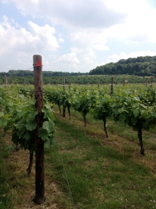 Pinot Noir rows